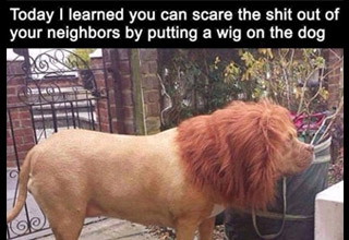 dog that looks like a lion