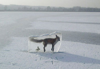 Fox frozen in a block of ice - NO THANKS NATURE