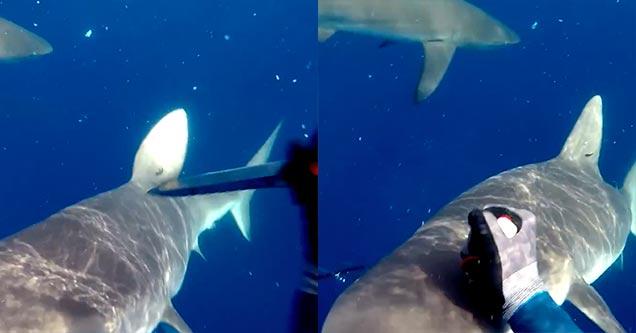 shark attack on spear fisherman