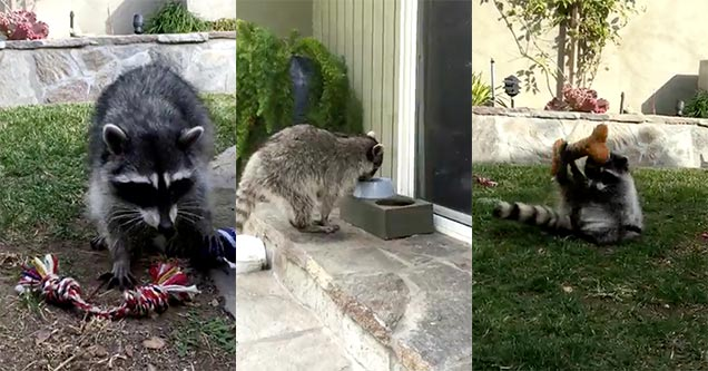 Playful Raccoon Caught Messing Around With Dog Toys Wow