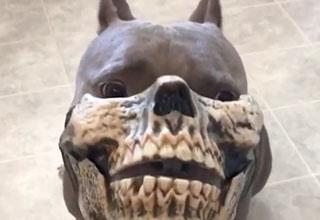 pitbull dog mask is awesome