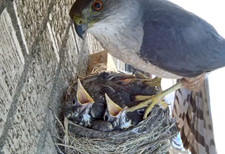 Live Camera Feed Captures A Hawk Stealing Two Young Robin Chicks From Nest