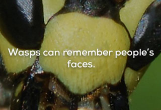 a close up of a wasps face with text that reads wasps can remember human faces