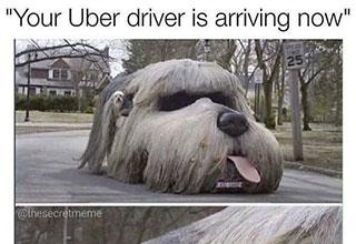 dog car uber driver meme