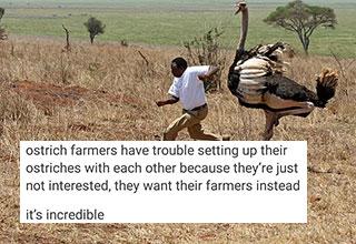 Ostrich cashing a person through a field