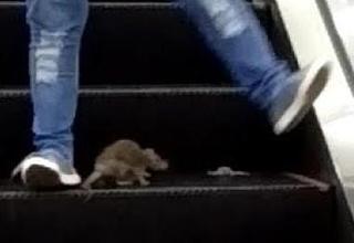 Rat attacks shoppers on escalator