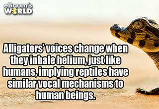 cool fact about alligator vocal chords