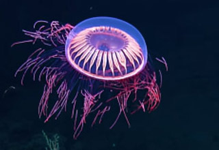 a florescent colored jellyfish with purple pink and blue colors
