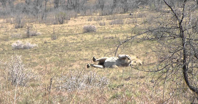 Lion lying in a grassy sahara