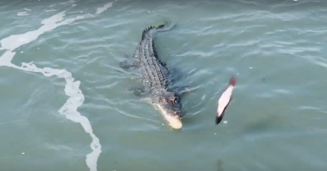Croc tries to catch fish