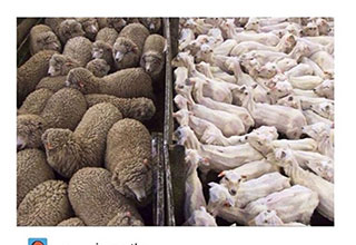 freshly sheared sheep standing in a pen