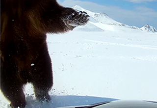 a snowmobile dangerously close to a grizzly bear in the snow, that same bear rearing up from a first person perspective