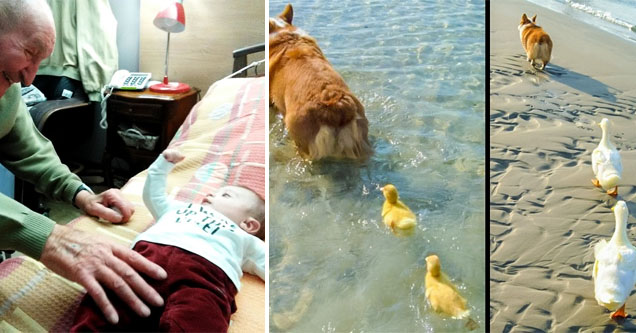 an elderly man very happy next to a baby, a corgi followed by two ducklings who grew into ducks