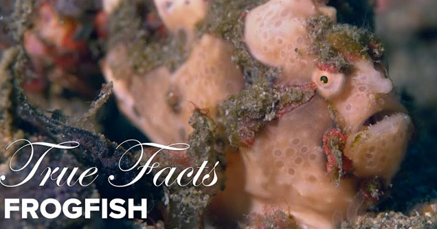 a photo of a frog fish with text that says true facts frog fish