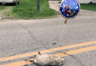roadkill celebrates with balloon