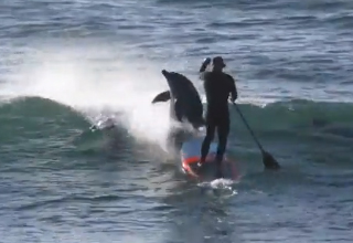 dolphin collides into paddle boarder