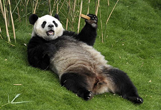 silly panda laying in the grass being lazy