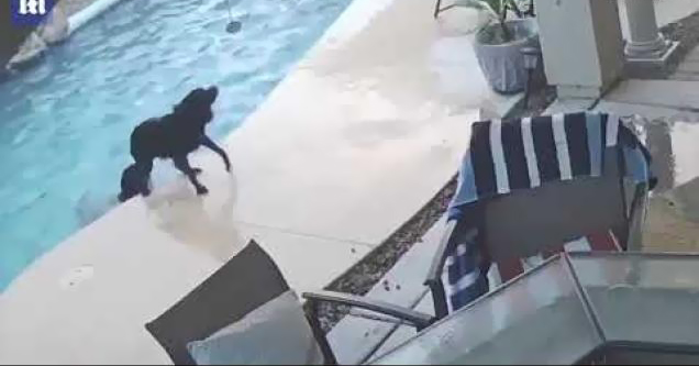 dog saves fellow pooch from pool