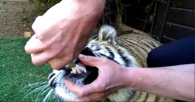 tiger gets tooth pulled