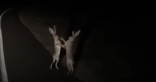 jack rabbits fight