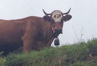 cow with a skull birth mark on it's head