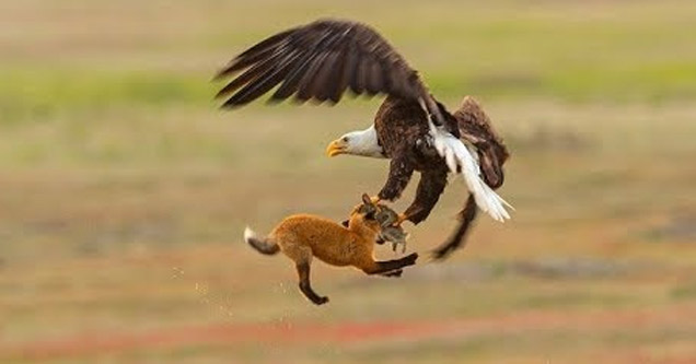 an eagle and a fox fighting over a rabbit