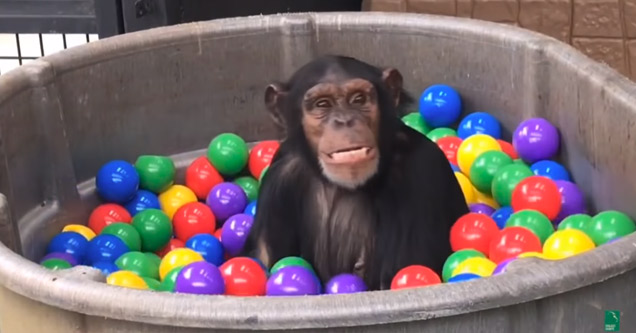 a chimpanzee plays in a ball pit