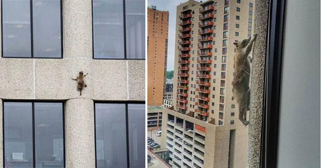 raccoon climbs a skyscraper