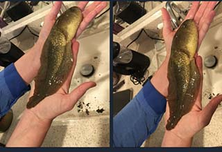 massive tadpole being held in a sink