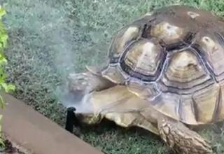 tortoise cools down in a sprinkler