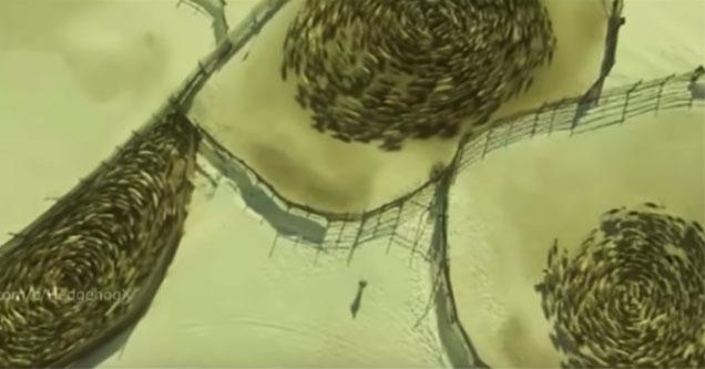 raindeer filmed walking in strange circles