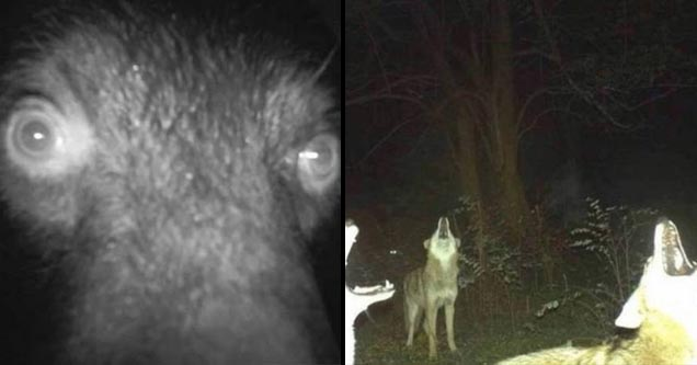 a closeup on a bear looking into a nature cam, and a group of 3 coyotes howling