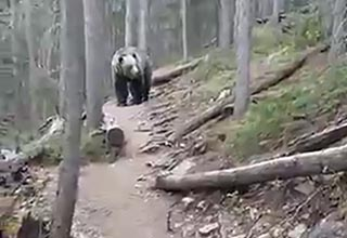 a grizzly meandering down a forest trail