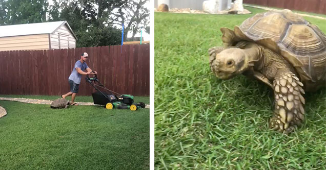 A tortoise is chasing after a lawnmower in the grassy backyard of its house.