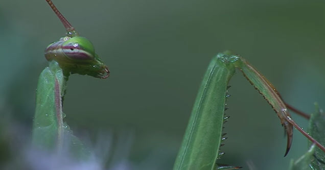 a praying mantis waiting for a fly