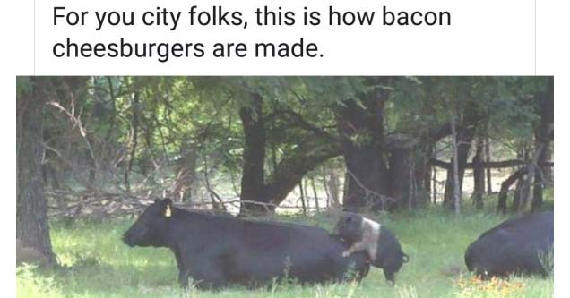 a pig humping a cow in a pasture and a message about city folks