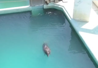 a bottlenose dolphin swims alone in a tank at an abandoned water park in japan