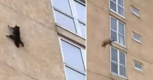a raccoon clutching to the sides of a building and then falling off of it