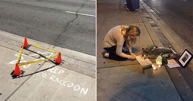 memorial set up for a dead raccoon in Canada
