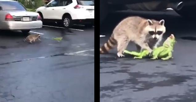 Raccoon in parking lot chasing iguana. Raccoon holding down iguana screaming.