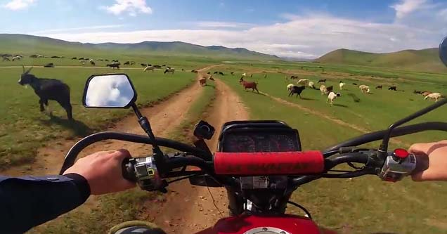 a man grabbing the handles of a motorbike headed toward some livestock in mongolia
