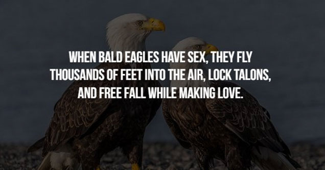 Two eagles mating ritual
