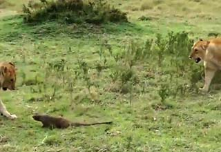 a lion getting scared by a small mongoose on the grass