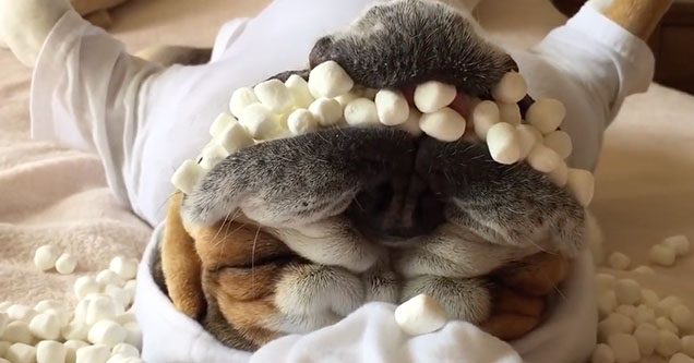 A cute dog is lying on its back with a mouth full of tiny marshmallows.