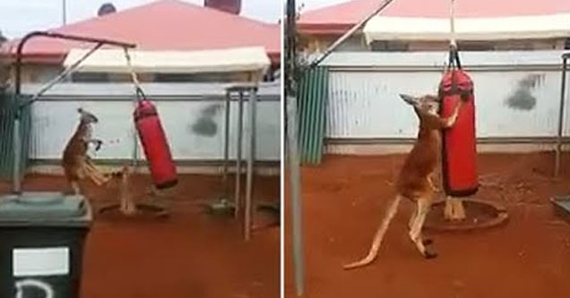kangaroo fighting a punching bag