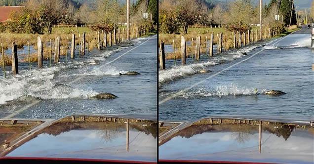 Salmon cross a flooded road in Shelton, Washington in October 2018.