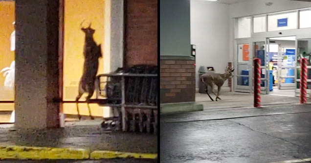 A scared buck makes its way inside of a Walmart in Bethlehem, Pennsylvania in October 2018.