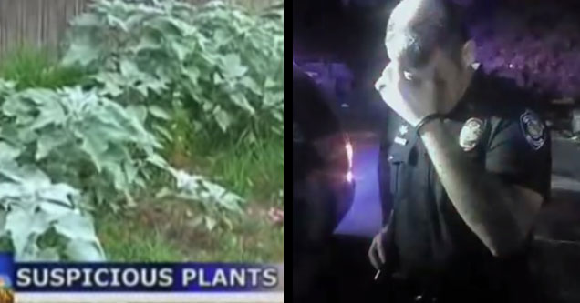 a screenshot from a news segment that shows a field of horsemint plants police removed thinking it was marijuana and a police officer facepalming
