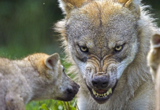 a photo of a wolf snarling and showing its teeth as a smaller wolf sniffs his face