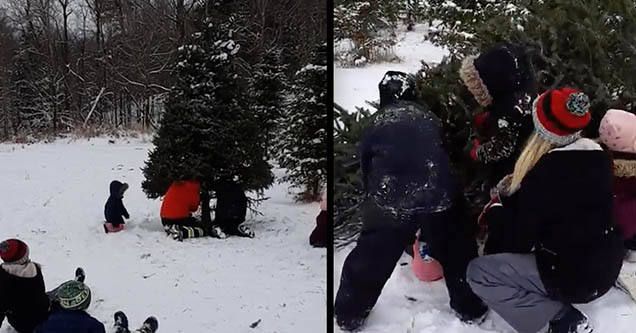 A family is cutting down a Christmas tree as one of the kids is sitting down underneath it. A family is picking up a Christmas tree they cut down after it toppled over on top of one of their children.